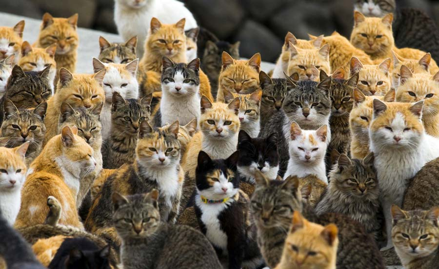 Topic des chats - Page 8 Cat_island_japon