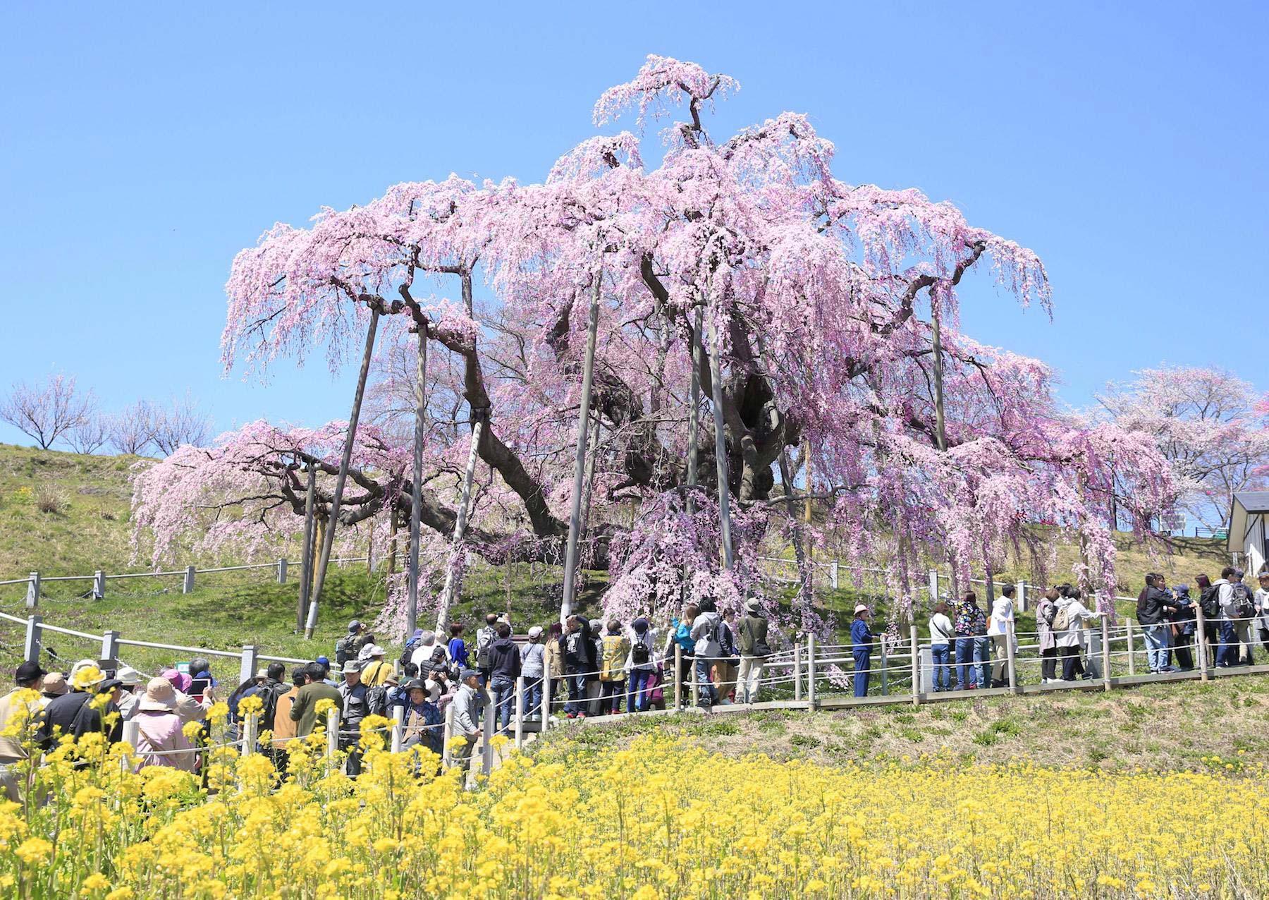 Hauteur Cerisier Du Japon takizakura, un cerisier du japon âgé de plus de 1000 ans